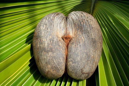 Weltweit einzigartig – Coco de Mer, Meeresnuss (Bild: © Gerard Larose - Seychelles Tourism Board)