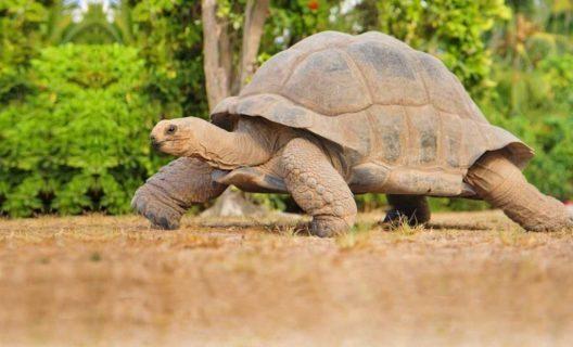 Seychellen-Riesenschildkröte (Bild: © SeyVillas)