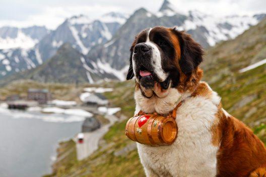Kira mit Fässchen, Grosser Sankt Bernhard Pass, Grenze Wallis / Aosta, Schweiz / Italien (Bild: © Iris Kürschner, powerpress.ch)