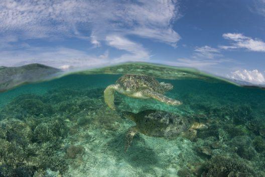 Sich paarende Suppenschildkröten (Chelonia mydas) in den flachen Korallengewässern, Sabah, Malaysia. (Bild: © Jürgen Freund / WWF)