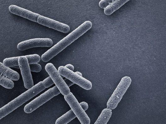 Escherichia coli Bakterien (Bild: © dreamerb - shutterstock.com)