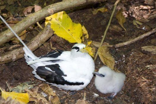 Tropischer Vogel mit Küken (Bild: © Gerard Larose - Seychelles Tourism Board)