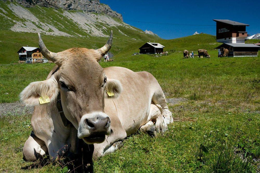 Braunvieh-Kuh auf einer Weide in Melchsee-Frutt (Bild: Wikimedia, Ikiwaner, CC BY-SA 3.0)