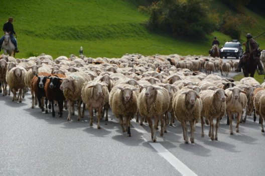 In Savognin gibt es bei der Schafschur viel zu entdecken. (Bild: © Sera Gio)