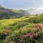 Alpenrosen (Bild: © Lenk Simmental Tourismus - swiss-image.ch/Patrick Aegerter)
