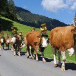AlpKultur- Alpabfahrt (Bild: © Lenk Simmental Tourismus - swiss-image.ch/Andreas Mueller)