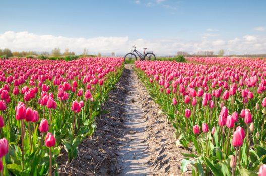 Tulpenmeer (Bild: © Olha Rohulya - shutterstock.com)
