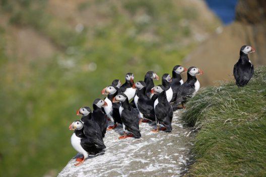 Papageitaucher auf Drangey Insel, Norðurland, Island. (Bild: dia.ch)