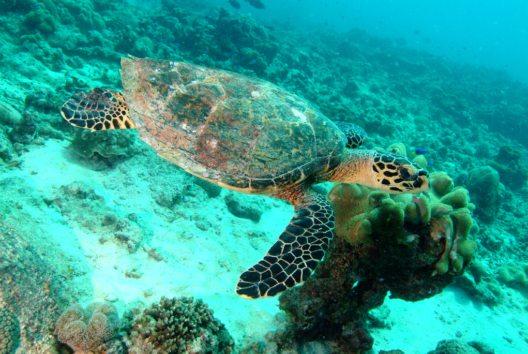 Echte Karettschildkröte (Bild: © Seychelles Tourism Board, Tony Baskeyfield)