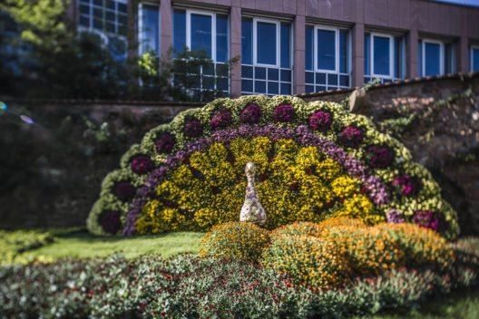 Tausende Chrysanthemen lassen die Lahrer Innenstadt in üppiger Farbenpracht leuchten (Bild: Michael Bode/ Stadt Lahr)