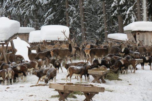 Wildtierfütterung in Zell am See-Kaprun (Bild: © Jagdbetriebsgesellschaft Thumersbach-Erlberg)
