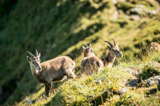Steingeissen mit ihren Jungtieren auf dem Niederhorn bei Beatenberg. (Bild: © Switzerland Tourism - swiss-image.ch/Andre Meier)