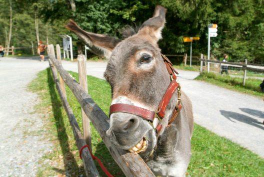 Ein lustiger Esel beisst in den Holzzaun (Bild: © Stefano Ember - shutterstock.com)
