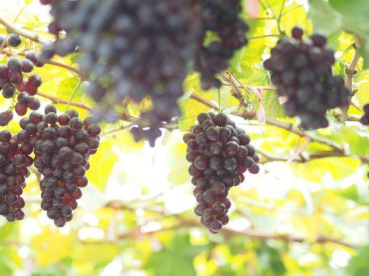 Weingenuss im Meraner Land (Bild: Sa-nguansak Supong - shutterstock.com)