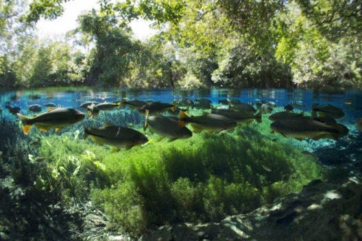 Der Piraputanga ist in Flüssen Südamerikas heimisch. (Bild: © Michel Roggo)
