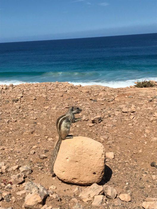 Atlashörnchen, Playa de las Escaleras (Bild: © Julia Pawelczyk)