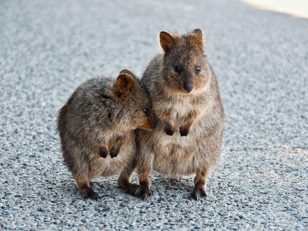 Quokka, Rottnest Island, Australien (Bild: Julieta Julieta - unsplash)